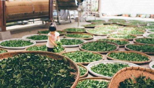 緑茶に含まれるカテキンの働きは健康や美容にとてもいい?その理由